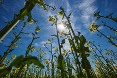 Rape field landscape Stock Photography