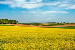 Field landscape. Yellow oilseed field under blue sky in sommer stock images