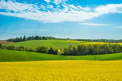 Field landscape. Yellow oilseed field under blue sky in sommer royalty free stock image