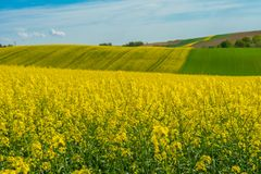 Field landscape. Yellow oilseed field under blue sky in sommer royalty free stock photos