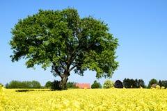 Rape field with lone tree. Landscape Stock Photos