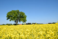 Rape field with lone tree Royalty Free Stock Image