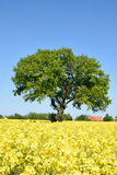 Rape field with lone tree Stock Photo