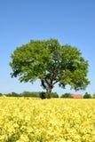 Rape field with lone tree. Landscape Stock Photo