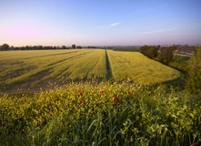 Rape field in the mornig Royalty Free Stock Image