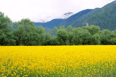 Rape field in mountain Stock Image
