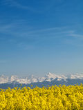 Rape field and mountains Stock Photos