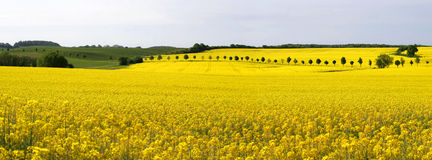Rape field-panorama Royalty Free Stock Photos
