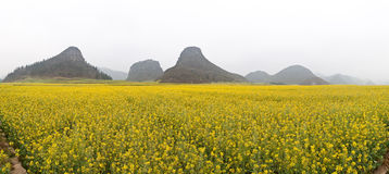 Rape Field Panorama. Rape field in early spring Royalty Free Stock Images