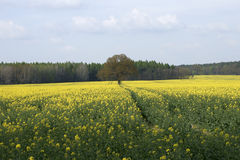 At the rape field Royalty Free Stock Images