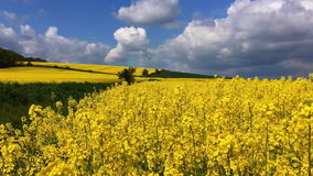 Rape field in Poland stock video footage