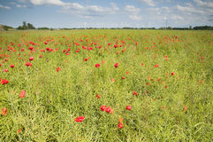 Rape field with poppies Stock Images