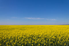 Rape field. Rapeseed field with a beautiful blue sky Stock Photography