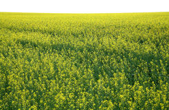 Rape field. Rapeseed field of yellow color Royalty Free Stock Photo
