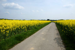Field road. Lonely road leading through a yellow blooming canola field in summertime royalty free stock image