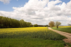 Rape field with road Stock Image