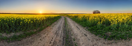 Rape Field with road at sunset, panorama Stock Photography