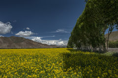 Rape field by the road in tibet Stock Photos