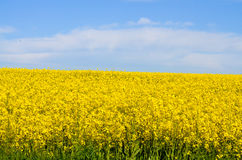 Rape field. Scenic view of rural field with rape flowers and beautiful blue sky Royalty Free Stock Images