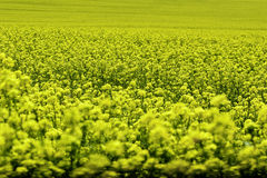 Rape field of intense yellow Royalty Free Stock Images