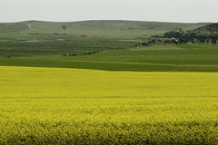 Rape field by the Black Sea. Rape field by the sea near the fortress of Enisala Royalty Free Stock Images