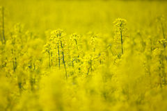 Rape field, selective focus Stock Photos