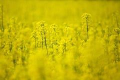 Rape field, selective focus. Rape field in the springtime, selective focus Stock Photos