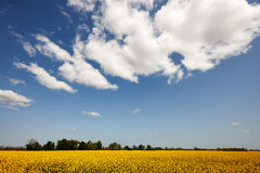 Rape field and sky Royalty Free Stock Photos
