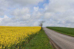 Rape Field at a Small Road Royalty Free Stock Photos