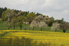 Rape field in spring Stock Photo