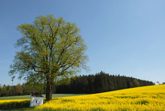 Rape Field in Spring Royalty Free Stock Photography