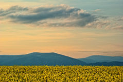 Rape field in spring bloom, colored sunset sky Stock Photos