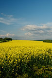 Rape field in spring bloom Royalty Free Stock Photography