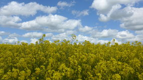 Rape field in spring on a sunny, but cloudy day Stock Image