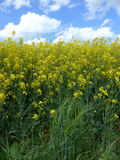 Rape field in spring on a sunny, but cloudy day Stock Photos