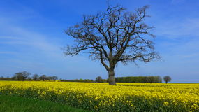 Rape field in spring on a sunny day Royalty Free Stock Photography