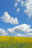 Rape field in spring time. Yellow rape  field in  spring Royalty Free Stock Photography