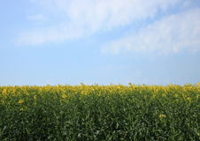 Rape field at springtime with blue sky Royalty Free Stock Images