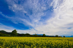 Rape field Royalty Free Stock Image