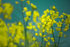 Rape Field on a Summer Evening Royalty Free Stock Images