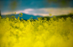 Rape Field on a Summer Evening Stock Photos