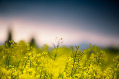 Rape Field on a Summer Evening Royalty Free Stock Photo