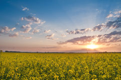 Rape field at sunset Royalty Free Stock Photos