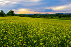 Rape field and sunset Royalty Free Stock Photos
