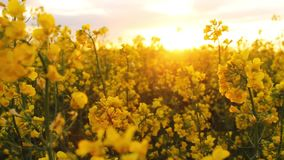 field at sunset. flowers close-up glimpse of the golden sun. stock footage