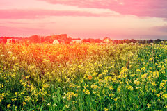 Rape field at sunset Stock Photo