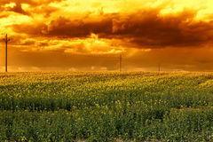 Rape field in the sunset Royalty Free Stock Image