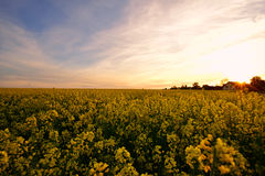 Rape field at sunset. A tranquil landscape with a field of blooming rape bathed in the soft light of the sunset. An inspiring scenery suggesting the beauty of a Stock Photography