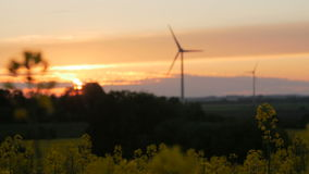 Rape field - sunset with wind turbine. stock video footage