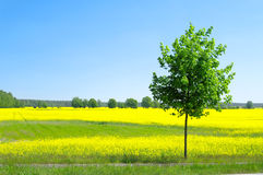 Rape field and tree Royalty Free Stock Image